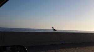 Zuma Beach seagull