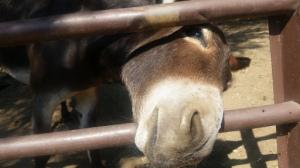 Farm donkey